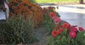 Fall Flowers Elmwood IL