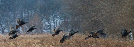 Wild Turkeys Illinois